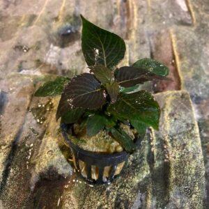 Hygrophila kicsi akváriumi előtéri növény