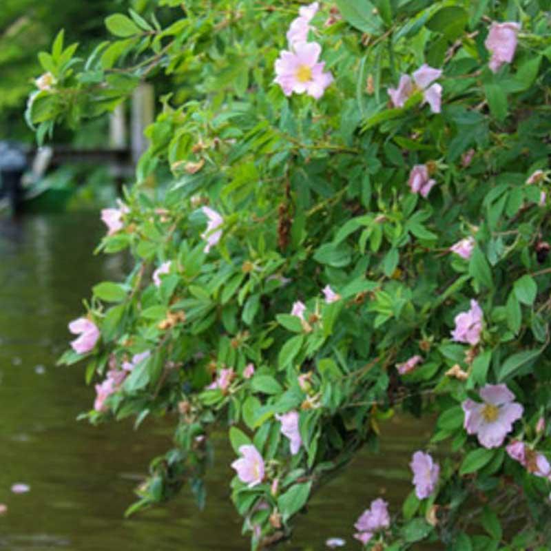 Mocsári rózsa kerti tavi növény